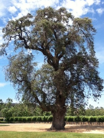 Brassfield Estate Winery tree and vineyard